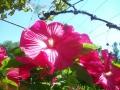 Hibiskus v času cvetenja