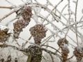 Snežni vinograd